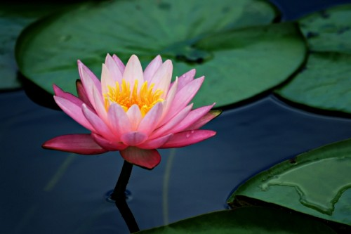 the significance of the lotus  the hindu perspective, Natural flower